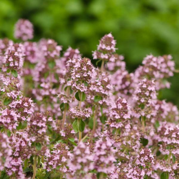 Thym serpolet (Thymus serpyllum) | Le jardin des vie-la-joie | Artisan semencier du Québec