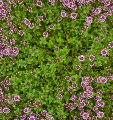 semences de thym serpolet (Thymus serpyllum) | Le jardin des vie-la-joie | Artisan semencier du Québec