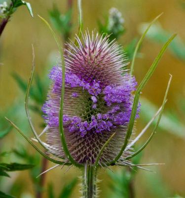 Cardère (Dipsacus sylvestris) | Le jardin des vie-la-joie| Artisan semencier du Québec