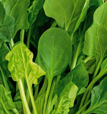 Épinard Bloomsdale Dark Green (Spinacia oleracea) | Le jardin des vie-la-joie| Artisan semencier du Québec