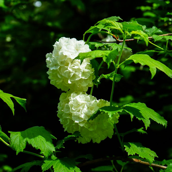 Viorne trilobée / Pimbina (Viburnum opulus subsp. trilobum var. americanum syn. V. trilobum) | Jardin des vie-la-joie | Artisan semencier