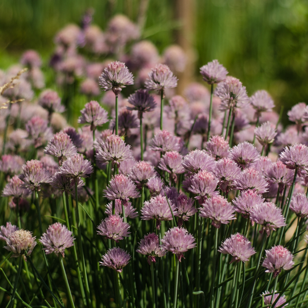 Ciboulette (Allium schoenoprasum) | Jardin des vie-la-joie | Artisan semencier