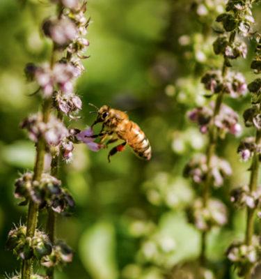 Graines de plantes mellifères | Le jardin des vie-la-joie