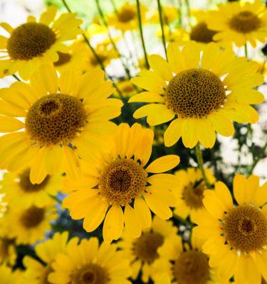 Semences de camomille des teinturiers / Artémise jaune | Le jardin des vie-la-joie | Artisan semencier