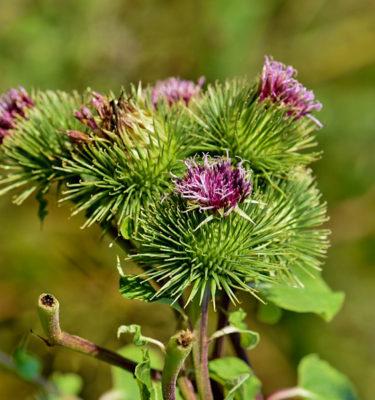 Bardane grande (Arctium lappa) | Jardin des vie-la-joie | Artisan semencier