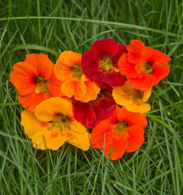 Semences de capucine en mélange (Tropaeolum majus) | Jardin des vie-la-joie | Artisan semencier