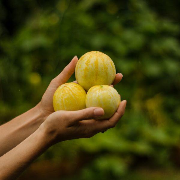 Semences de concombre citron (Cucumis sativus) | Le jardin des vie-la-joie| Artisan semencier du Québec