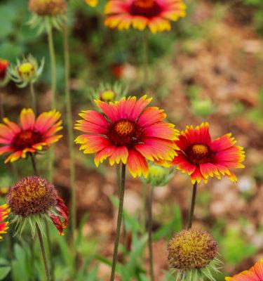 Semences de gaillarde Arizona Sun (Gaillardia aristata) | Jardin des vie-la-joie | Artisan semencier