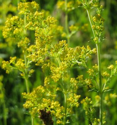 Semences de gaillet jaune (Galium verum) | Jardin des vie-la-joie | Artisan semencier