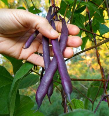 Semences de haricot grimpant Blue coco (Phaseolus vulgaris) | Jardin des vie-la-joie | Artisan semencier
