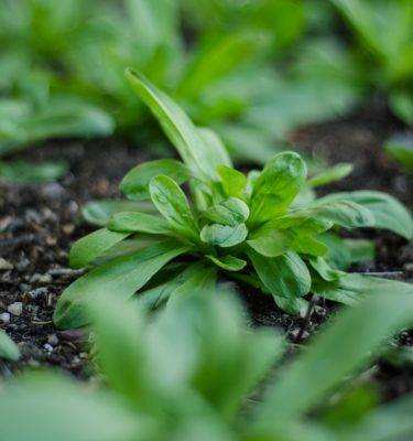 Semences de mâche (Valerianella locusta) | Le jardin des vie-la-joie| Artisan semencier du Québec
