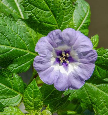 Semences de nicandre faux-coqueret (Nicandra phisaloides) | Jardin des vie-la-joie | Artisan semencier