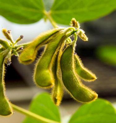 Semences de soya Chiba Green (Glycine max) | Jardin des vie-la-joie | Artisan semencier