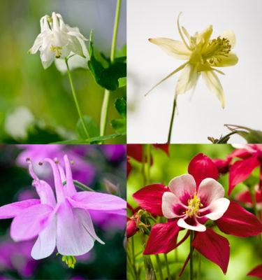 Ancolie des jardins Mélange (Aquilegia coerulea ) | Jardin des vie-la-joie | Artisan semencier