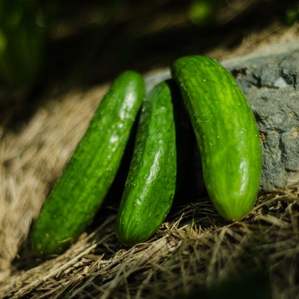 Semences de concombre libanais Green Finger (Cucumis sativus) | Jardin des vie-la-joie | Artisan semencier