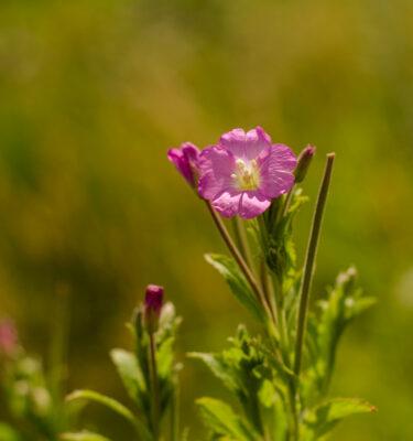 Graines d'épilobe à petites fleurs (Epilobium parviflorum) | Jardin des vie-la-joie | Artisan semencier