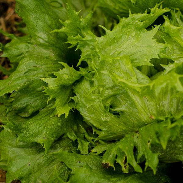 Semences de laitue Reine des Glaces (Lactuca sativa)   Jardin des vie-la-joie   Artisan semencier