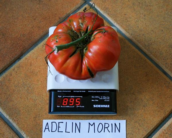 Semences de tomate Adelin Morin