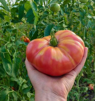 Semences de tomate German Johnson (Lycopersicon esculentum) | Jardin des vie-la-joie | Artisan semencier