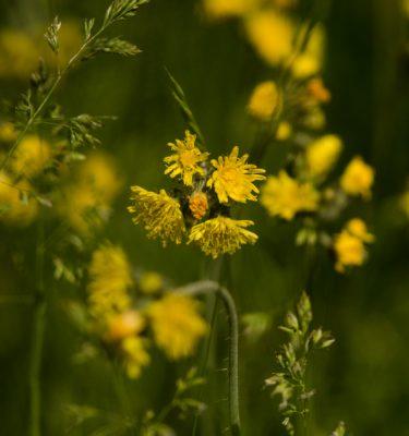 Épervière des prés (Pilosella auratiaca) | Jardin des vie-la-joie | Artisan semencier