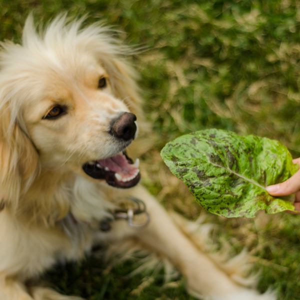 Semences de laitue Flashy Butter gem (Lactuca sativa) | Jardin des vie-la-joie | Artisan semencier