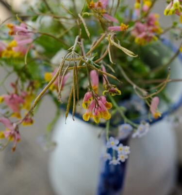 Corydale toujours verte (Corydalis sempervirens) | Jardin des vie-la-joie | Artisan semencier