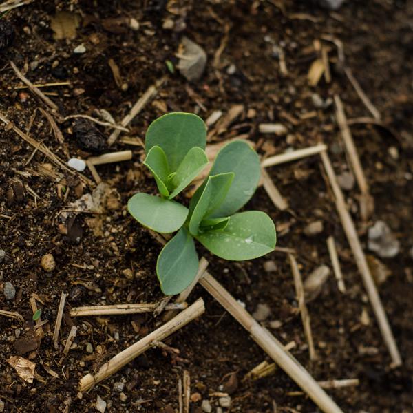 Semences de Mélinet / Cerinthe (Cerinthe major 'Purpurascens')   Le jardin des vie-la-joie   Artisan semencier du Québec