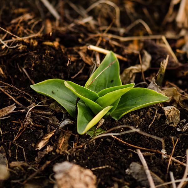 Semences de Gentiane Tibétaine (Gentiana tibetica) | Jardin des vie-la-joie | Artisan semencier