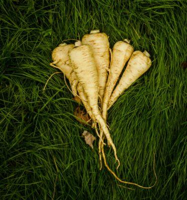 Semences de panais 'Lancer' (Pastinaca sativa) | Jardin des vie-la-joie | Artisan semencier