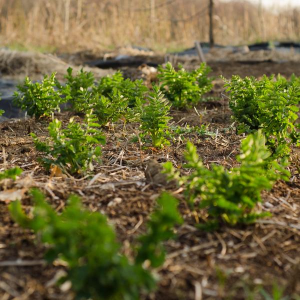 Panais 'Lancer' (Pastinaca sativa) | Jardin des vie-la-joie | Artisan semencier