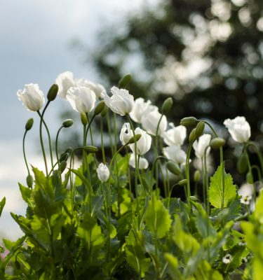 Pavot Peshawar (Papaver somniferum var. album)   Jardin des vie-la-joie   Artisan semencier