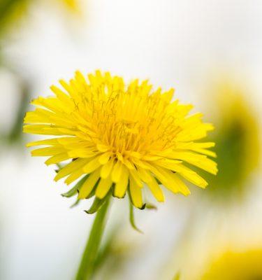Pissenlit (Taraxacum officinale) | Jardin des vie-la-joie | Artisan semencier