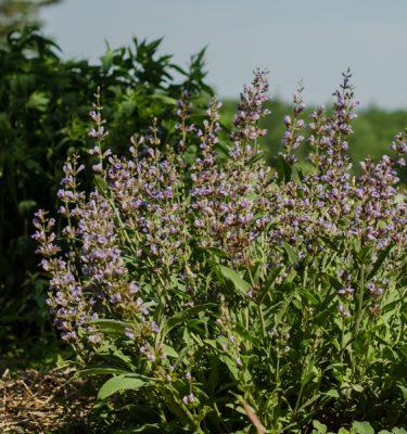 Semences de sauge officinale (Salvia officinalis) | Le jardin des vie-la-joie| Artisan semencier du Québec