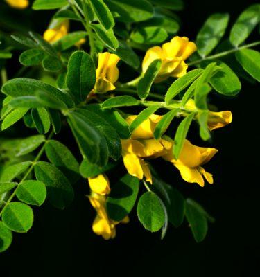 Caraganier de Sibérie (Caragana arborescens) | Jardin des vie-la-joie | Artisan semencier