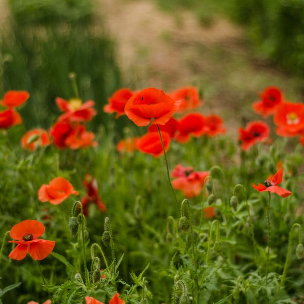 Coquelicot (Papaver rhoeas) | Jardin des vie-la-joie | Artisan semencier