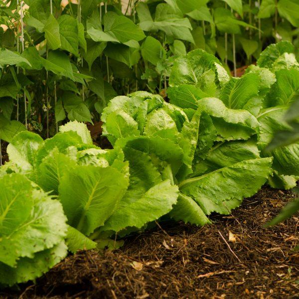 Semences de laitue romaine Olga (Lactuca sativa) | Jardin des vie-la-joie | Artisan semencier