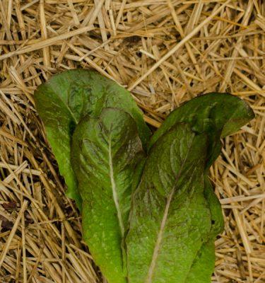 Semences de laitue romaine Rosalita (Lactuca sativa) | Jardin des vie-la-joie | Artisan semencier