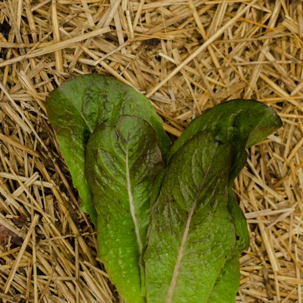 Semences de laitue romaine Rosalita (Lactuca sativa)   Jardin des vie-la-joie   Artisan semencier