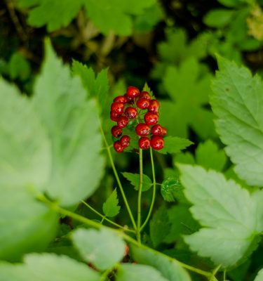 Actée rouge (Actaea rubra) | Jardin des vie-la-joie | Artisan semencier
