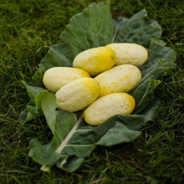 Semences de concombre miniature blanc (Cucumis sativus) | Le jardin des vie-la-joie| Artisan semencier du Québec
