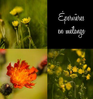 Épervière en mélange (Pilosella spp.) | Jardin des vie-la-joie | Artisan semencier