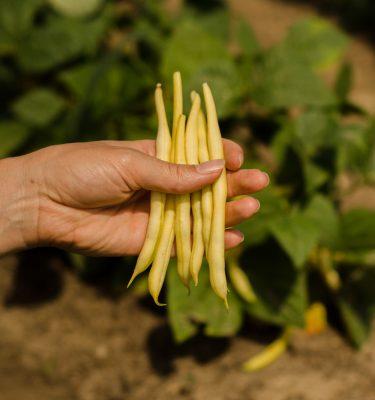 Haricot nain Voletta (Phaseolus vulgaris) | Jardin des vie-la-joie | Artisan semencier