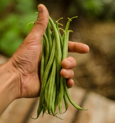 Haricot nain Maxibel (Phaseolus vulgaris) | Jardin des vie-la-joie | Artisan semencier