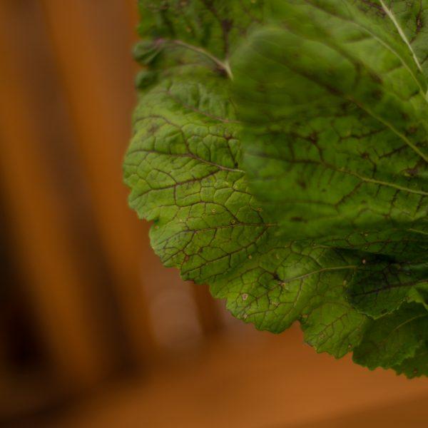 Moutarde Great Wave Mike (Brassica juncea)   Jardin des vie-la-joie   Artisan semencier