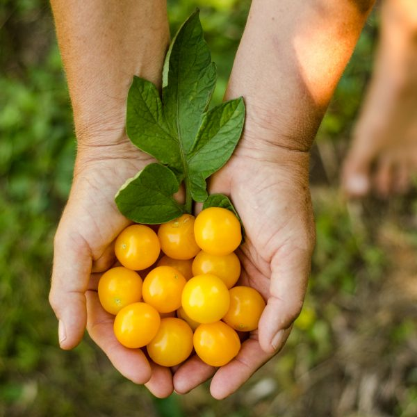 Semences de tomate Galina (Lycopersicon esculentum) | Le jardin des vie-la-joie| Artisan semencier du Québec