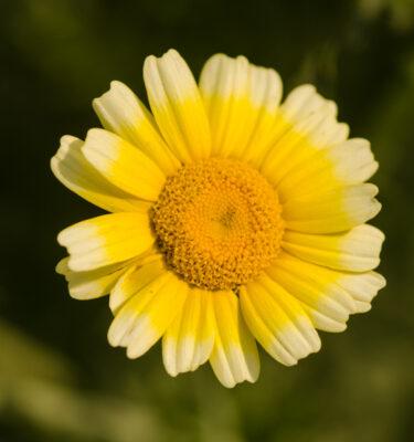 Semences de Chrysantheme des jardins / Shungiku / Tong Hao (Chrysanthemum coronarium) | Jardin des vie-la-joie | Artisan semencier