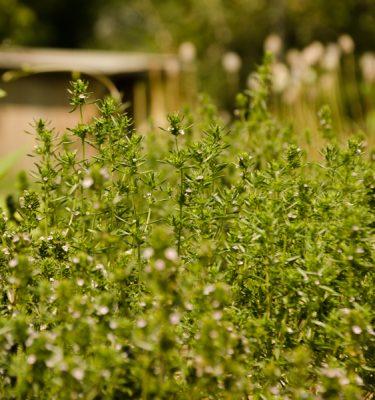 Sarriette d'été 'Ancienne d'Acadie (Satureji hortensis) | Jardin des vie-la-joie | Artisan semencier