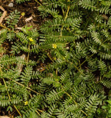 Semences de Tribule terrestre (Tribulus terrestris) | Jardin des vie-la-joie | Artisan semencier
