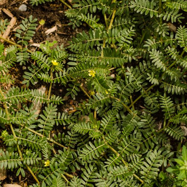 Semences de Tribule terrestre (Tribulus terrestris)   Jardin des vie-la-joie   Artisan semencier