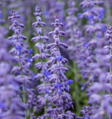 Semences de Sauge de Russie / Lavande d'Afghanistan (Perovskia atriplicifolia) | Jardin des vie-la-joie | Artisan semencier